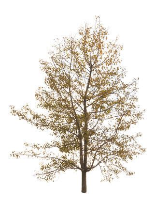 autumn tree isolated on white background
