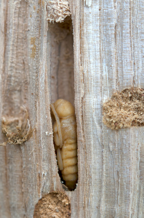 little woodworm lies on tree