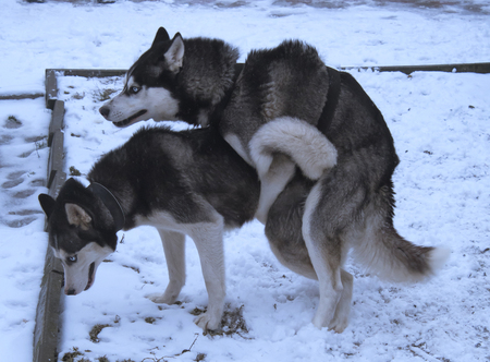 two huskies making love. Aclose up
