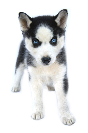 siberian husky puppy isolated on white