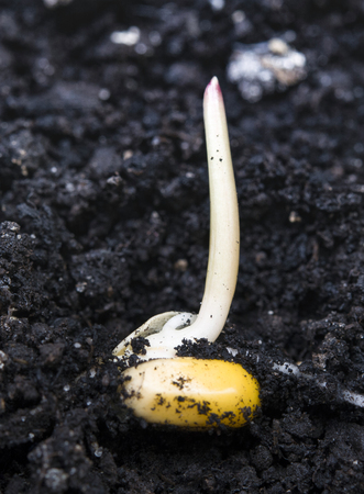 close up of corn germination on fertile soil Stockfoto