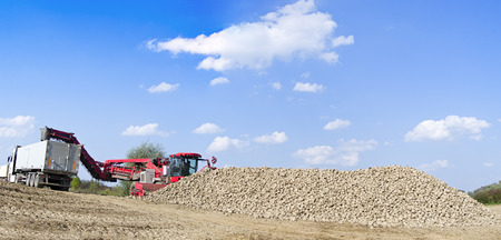 Agricultural vehicle harvesting sugar beets at sunny autumn day. Panorama