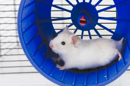 Hamster läuft im Laufrad isoliert auf weißem Hintergrund Standard-Bild