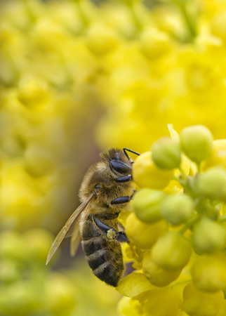 bee collects nectar from a flower Stock Photo