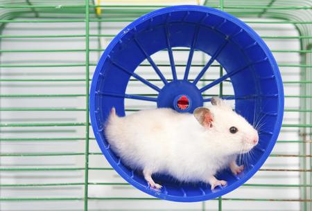 criceto in esecuzione nella ruota da corsa isolato su sfondo bianco