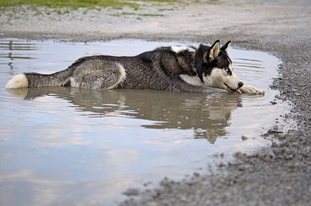 siberian husky dog on the shore of a river