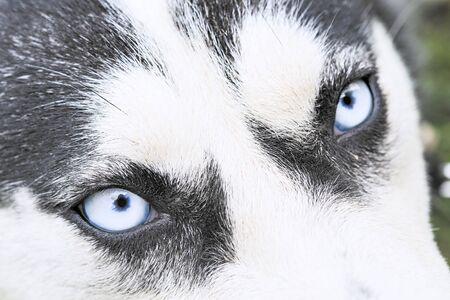 Cerrar los ojos azules de un perro husky Foto de archivo