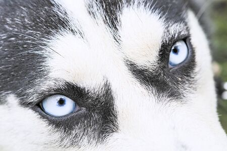 Close up on blue eyes of a husky dog Фото со стока