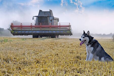 Harvester machine to harvest wheat field working. Combine harvester agriculture machine harvesting golden ripe wheat field