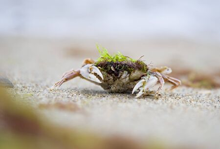 crab came out of the sea, at the shore, on the sand. Stock Photo