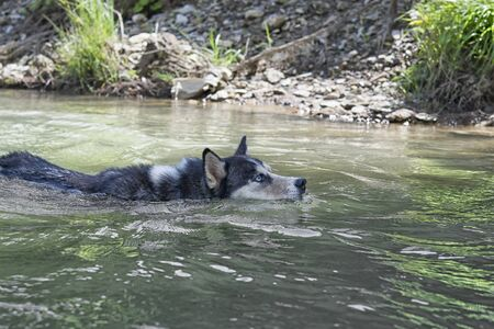 blue, dog, husky, animal, water, white, swimming, fur, pool, siberian, summer, day, sunny, eyes, mature, wet, cute, nature, outdoors, canine, beauty, people, adult, looking, river