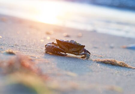 crab coming out of the sea, near the shore, into the sand on a sunset background Stock Photo