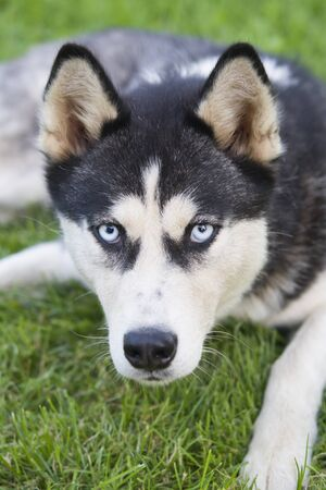 Siberian Husky is in the green grass sits