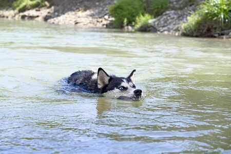siberian husky swimming in the river. A close up