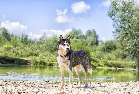 Siberian Husky on the lake in the park