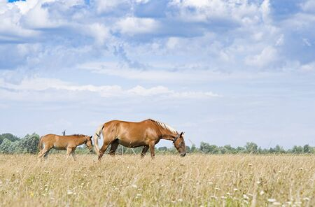 Brown mare and young foal in a green pasture with a blue sky and wispy white clouds.
