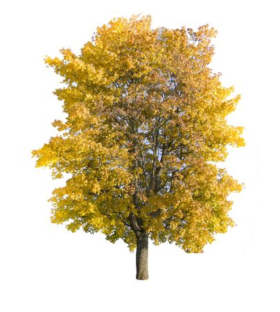 autumn tree isolated on white background