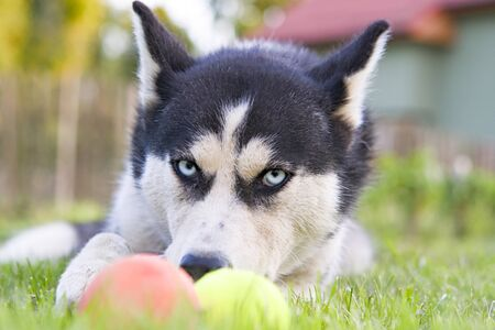 Cute siberian husky play toy on grass. Cute dog