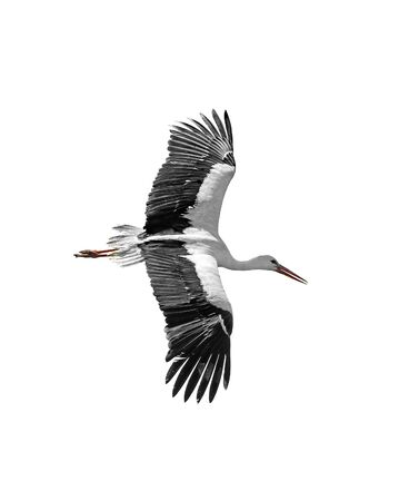 Flying stork isolated on white background Stock Photo