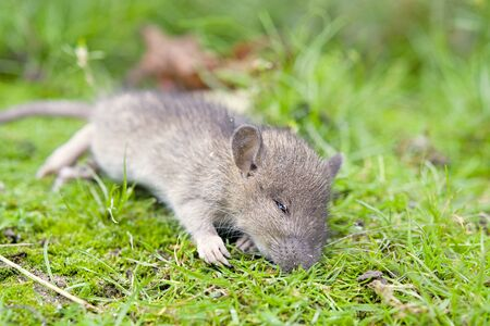 dead mouse in the grass. Aclose up Stock Photo