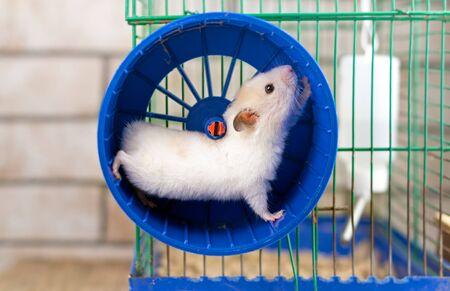 Hamster läuft im Laufrad isoliert auf weißem Hintergrund