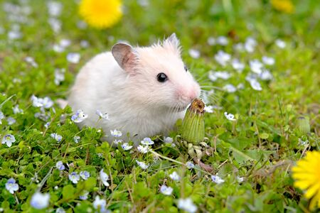 criceto bianco sullo sfondo di una bella primavera