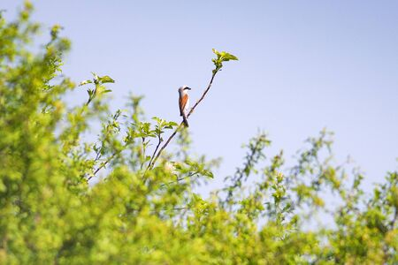 Red-backed shrike, lanius collurio. The bird sits on an branch. Male close up