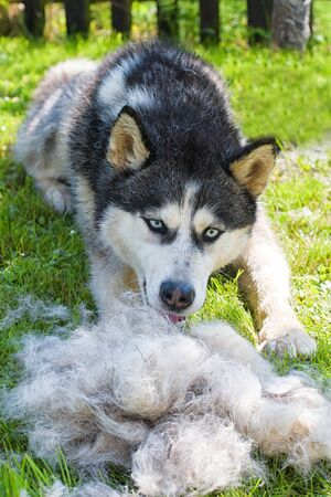 Concept annual molt, coat shedding, moulting dogs. Siberian husky lies on green grass in pile his fur.