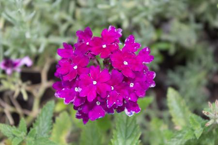pink cluster flower Lantana - Verbenaceae.