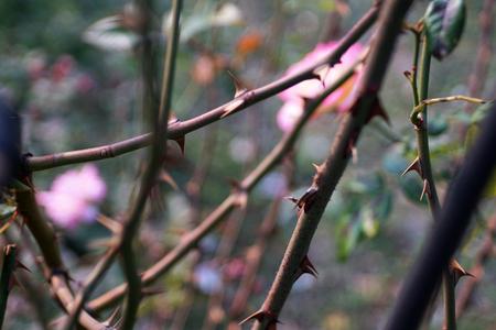 rose thorns as background Reklamní fotografie