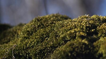 Belle mousse verte sur le sol, gros plan de mousse, macro. Beau fond de mousse pour papier peint Banque d'images