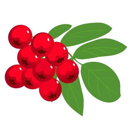 rosaceae: mountain ash or rowan berry the white Illustration