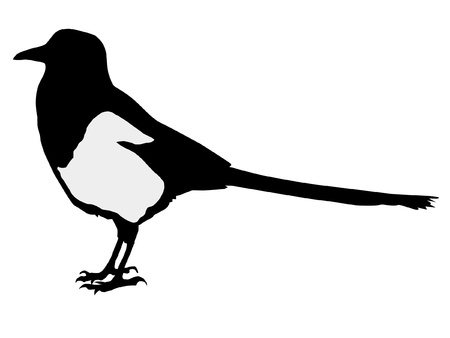 magpie: Illustration in style of colored silhouette of magpie