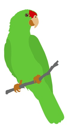 parrot tail: Illustration in style of colored silhouette of Red Crowned Amazon