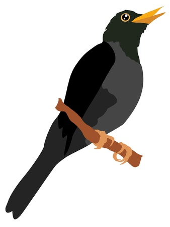 thrush: Illustration in style of colored silhouette of thrush Illustration