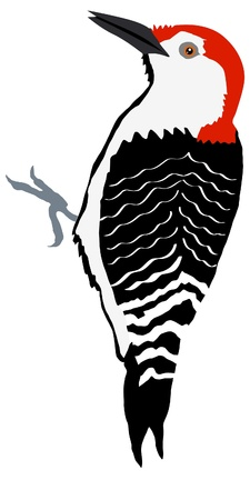 woodpecker: Illustration in style of colored silhouette of woodpecker Illustration