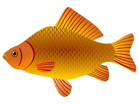 carp fishing: One coloured illustration of the beautiful fish