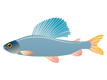 grayling: One coloured illustration of the beautiful fish