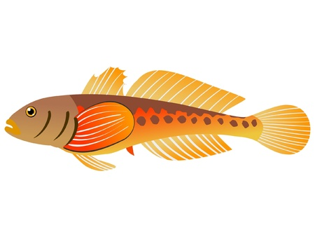 bullhead: One coloured illustration of the beautiful fish