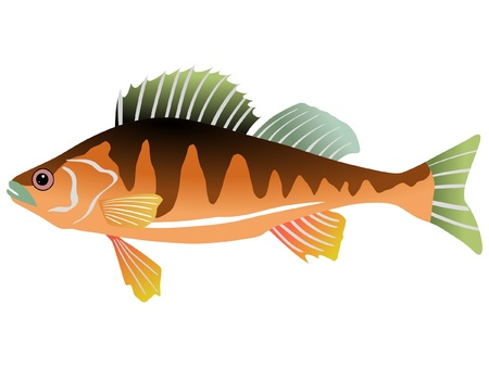 One coloured illustration of the beautiful fish Vector