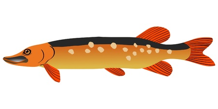 ged: One coloured illustration of the beautiful fish