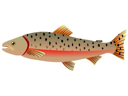 salmon: One coloured illustration of the beautiful fish