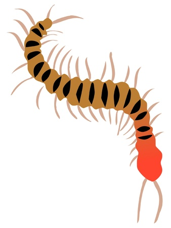 centipede: A colored illustration of insect serie. Centipede