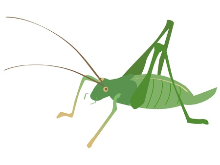 A colored illustration of insect serie. Cricket Vector