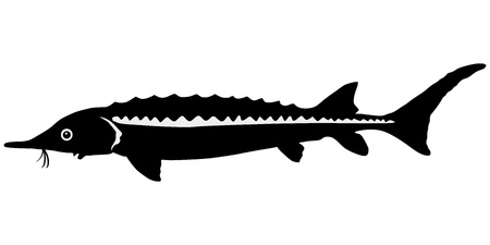 sturgeon: silhouette of the sturgeon on white background Illustration