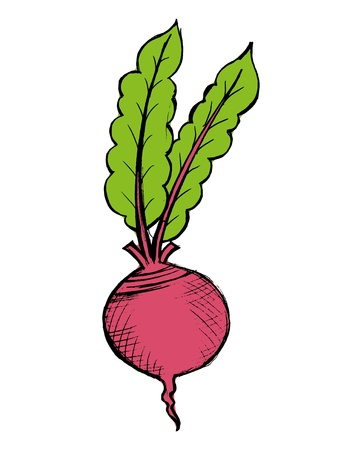 hand drawn illustration of a red beet on white Vector