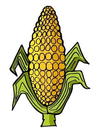 Hand drawn, vector illustration of ear of corn Vector