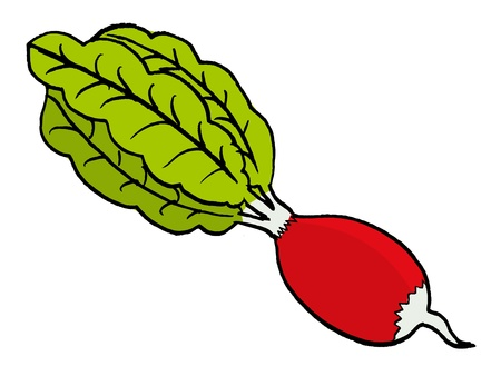 hand drawn, vector illustration of a radish