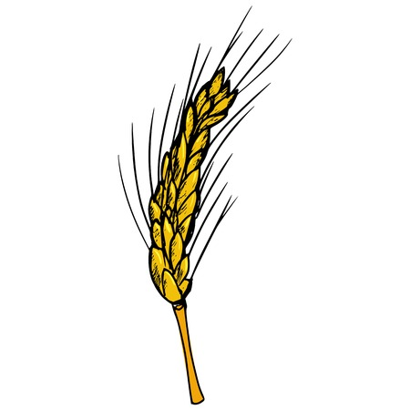 hand drawn, cartoon, sketch illustration of ear of wheat Vector