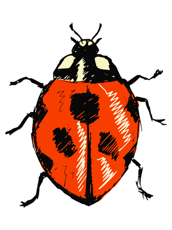 sketch, doodle, hand drawn illustration of ladybird Vector